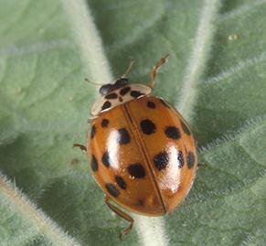asian-beetle1
