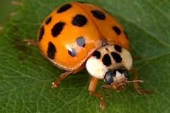 asian-beetle2